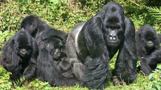 3 Day Gorilla Trekking Rwanda and Visit Dian Fossey Tombs