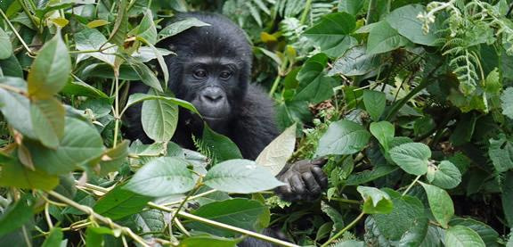 2 Days Budget Gorilla Trekking Rwanda